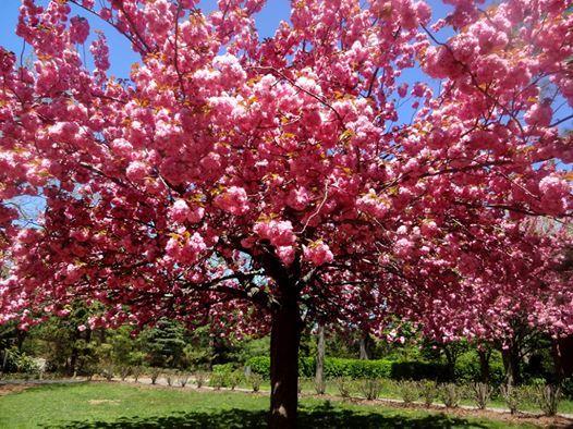 Cherry Blossom Festival - NYC