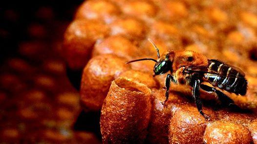 Reconhecimento de abelhas nativas sem ferro